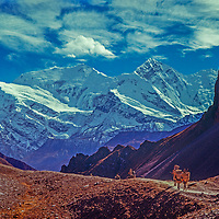 Porters for a trekking group descend the Thorang La pass, with Annapurna II & Gangapurna in the bkg. , Nepal Himalaya.