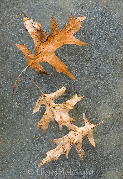 Oak Leaves on a Frozen Pond in Central Park