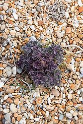 Emerging foliage of Sea Kale in the shingle at Dungeness, Kent. Crambe maritima