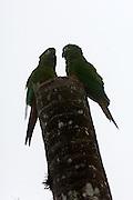Cerro Tapichalaca Reserve - Monday, Jan 07 2008: Two Golden-plumed Parakeets (Leptosittaca branickii) perch on top of a tree in the Cerro Tapichalaca Reserve near Podocarpus National Park. (Photo by Peter Horrell / http://www.peterhorrell.com)