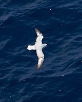 Southern Fulmar (Fulmarus glacialoides). South Atlantic Ocean. Viewed from the deck of the Hurtigruten MS Fram. Image taken with a Fuji X-T1 camera and 60 mm f/2.8 macro lens.