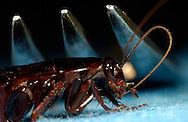 Deu, Deutschland: Amerikanischen Schabe (Periplaneta americana) sitzt unter einer Gabel und reinigt ihre Fühler | Deu, Germany: American cockroach (Periplaneta americana) sitting under of a fork cleaning its antenna |