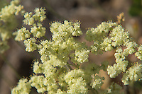 This native buckwheat is found throughout most of the American West (excluding the southernmost states) and is an extremely important food source for many of the sagebrush desert inhabitants where it is found. For bees, butterflies, birds, and other insects and animals it can at times be the only food available to them, and some species of butterflies will lay their eggs only on this plant.