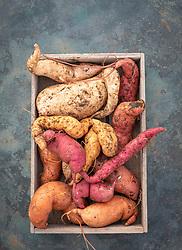 Harvested sweet potatoes in a box - Ipomoea batatas 'Beauregard', 'Evangeline', 'Bonita', 'Murasaki' and 'Kaukura'