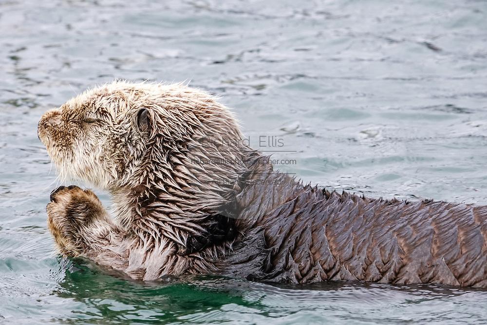 A northern sea otter floats along on Kamishak Bay at the City of Homer Port & Harbor marina in Homer, Alaska.