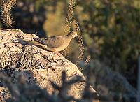 A Mourning Dove, Zenaida macroura, perches on a rock in Saguaro National Park, Arizona