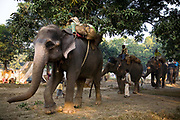 Elephants and their mahouts (elephant handlers) arrive for the month long animal fair at Sonepur, Bihar on the banks of Gandak river, a tributary of the Ganges. This is considered one of the largest animal selling fairs in India, near Patna, Bihar province.