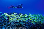 videographer and school of bluestripe snapper or <br /> ta'ape,  Lutjanus kasmira, on patch reef<br /> Kona, Hawaii ( Pacific ) MR 297