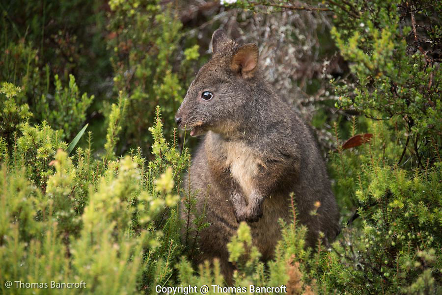 A rufous-bellied pademelon pauses from feeding to consider if danger is near and it should flee.