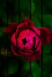 Goth Rose Vibe On Green