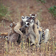 Ring-tailed Lemur, (Lemur catta) ENDANGERED SPECIES. Group grooming. Madagascar.
