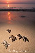 loggerhead turtle hatchlings, Caretta carettta, crawls across nesting beach toward ocean, Juno Beach, Florida, USA ( Western Atlantic Ocean )