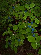 Blue Huckleberries and leaves, Cascade Mountain Range, Washington, USA