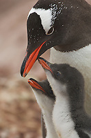 Gentoo Penguin (Pygoscelis papua) with its young.  Port Lockroy, Wiencke Island.