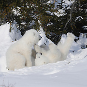Polar Bear cubs recently out of the den playing. Western Hudson Bay population in Manitoba, Canada