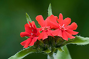 Lychnis flowers. (Lychnis chalcedonica 'Flore Plenes'). Close up portrait of flower cluster. Garden, Norfolk.