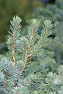 Black Spruce Picea mariana (Pinaceae) HEIGHT to 19m<br /> Slender, conical evergreen with shortest needles and cones of any spruce (apart from Oriental, whose needles are darker green and blunt). BARK Grey-brown and scaly. LEAVES Bluntly pointed needles, blue-green above and pale blue below, to 1.5cm long, 4-angled, growing all round hairy, yellowish shoots. REPRODUCTIVE PARTS Cones ovoid, reddish and pendent, to 4cm long, usually growing near tree top. STATUS AND DISTRIBUTION Native of N America, planted here for ornament.