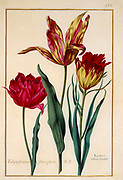 Tulips 17th century hand painted on Parchment botany study of a from the Jardin du Roi botanical Florilegium of Prince Eugene of Savoy collection, Paris c. 1670 artist: Nicolas Robert