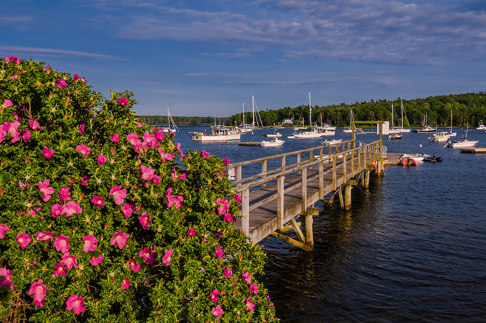 Blooming roses frame view of walkway to floating dock and harbor views, Round Pond, Bristol, ME