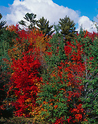 Autumn colors of quaking aspen, Populus tremuloides, sugar maples, Acer saccharum, and white pines, Pinus strobus, growing along the Trans-Canada Highway 17 near Goulais River north of Sault Ste. Marie, Ontario, Canada.