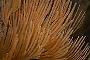 Primnoa sp. (Beaded gorgonian)
