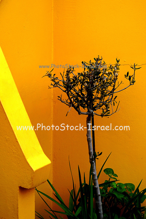 Oleander Shrub in front of a vivid orange and yellow wall