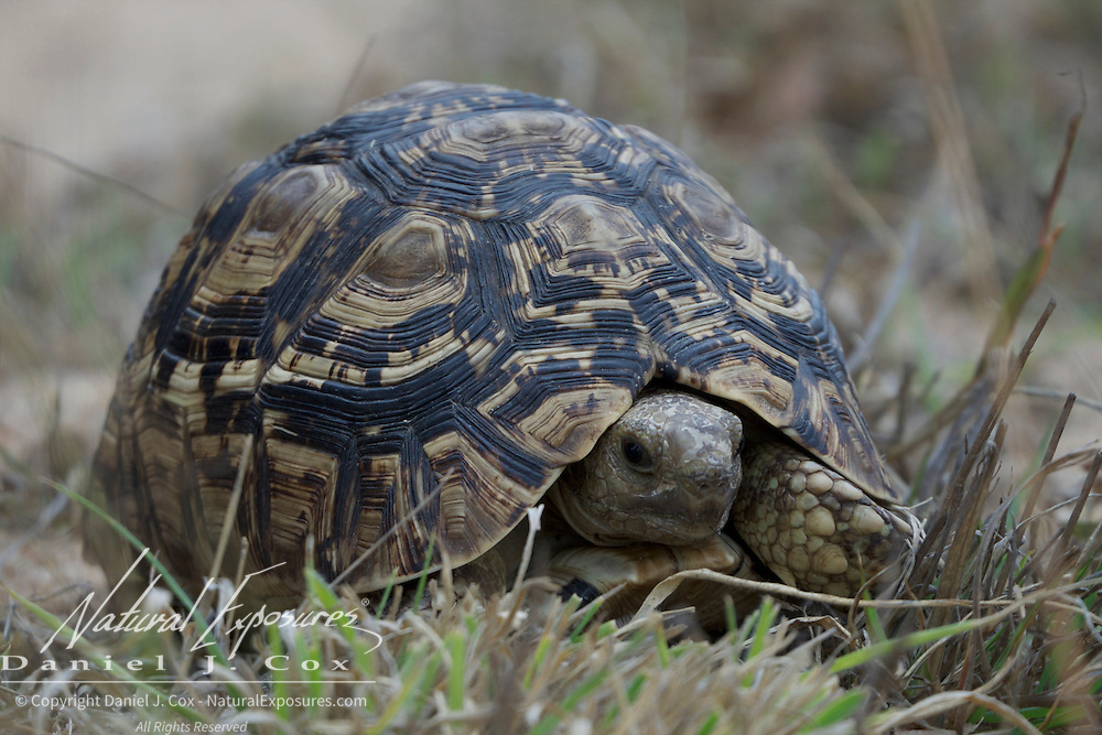 """Leopard Tortoise, part of what is known as the """"Small 5"""" in Africa. Londolozi Game Reserve, South Africa."""