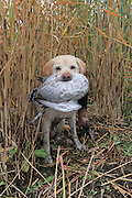 Yellow Labrador Retriever Rosie brings back a drake Canvasback during a hunt.