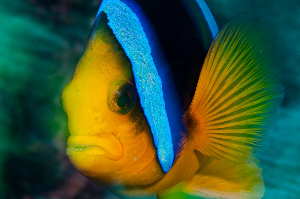 A Clarke's Anemonefish, Amphiprion clarkii, hovers over the coral reef in Beqa Lagoon, Fiji Image available as a premium quality aluminum print ready to hang.