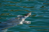 The Nile soft-shelled turtle (Trionyx triunguis) lives in the brackish waters of the Dalyan Delta, where it grows up to a body length of slightly more than 1 metre.