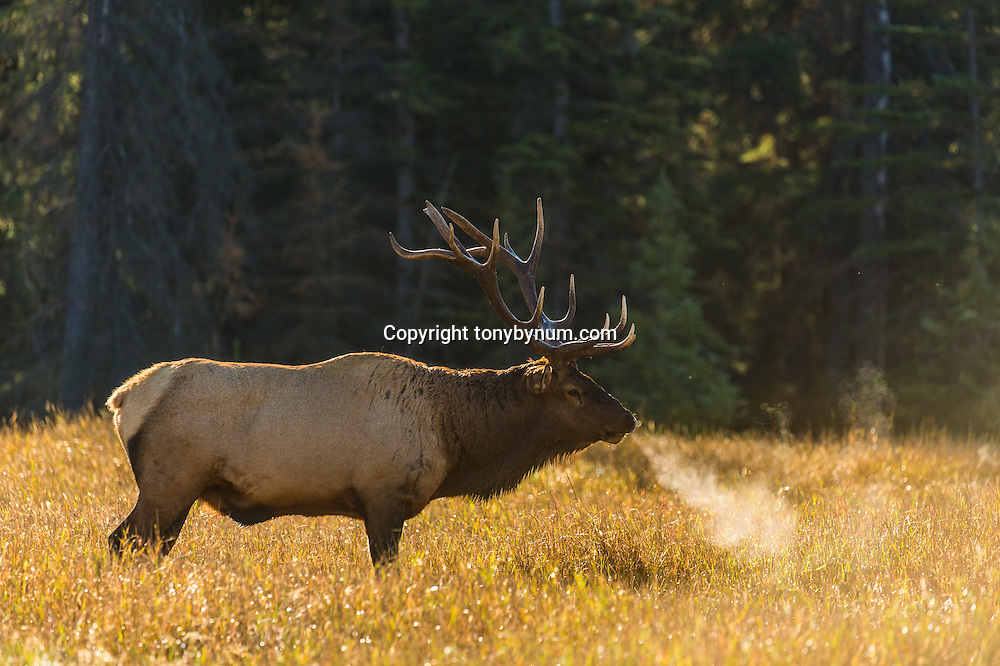 steam blowing out of bull elk nose and mouth backlit in meadow