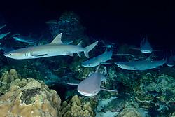 Triaenodon obesus, Weissspitzen Riffhaie schlafend am Meeresboden, Whitetip reef sharks sleeping on the sea flour, , Insel Cocos, Costa Rica, Pazifik, Pazifischer Ozean, Cocos Island, Costa Rica, Pacific Ocean