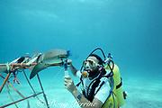 Dr. Samuel H. Gruber ( University of Miami ) uses dye filament to study respiratory flow and olfaction of nurse shark, Ginglymostoma cirratum, Bahamas (Atlantic)