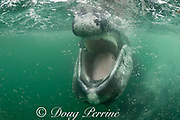friendly gray whale calf, Eschrichtius robustus, approaches the camera with mouth open, revealing tongue on floor of lower jaw and fringe of baleen hanging from upper jaw, San Ignacio Lagoon, El Vizcaino Biosphere Reserve, Baja California Sur, Mexico
