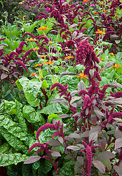 Amaranthus paniculatus 'Red Fox' with red stemmed Ruby chard and Tithonia rotundifolia 'Torch'