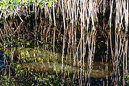 Manatees swim through mangroves in the Florida Everglades