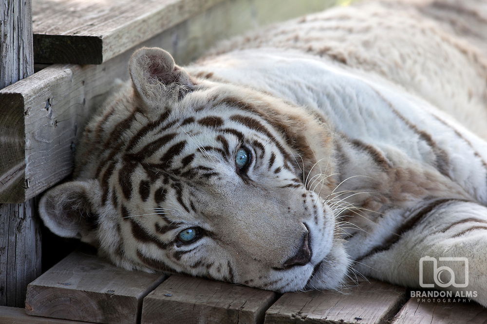 A closeup of a rescued White Bengal Tiger at a wildlife refuge.