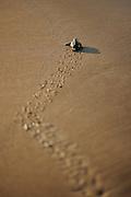 Loggerhead turtle (Caretta caretta) | Unechte Karettschildkröte (Caretta caretta)