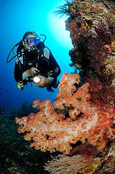 Dendronephthya klunzingeri, Stachelige Prachtkoralle und Taucher, Weichkoralle, Korallenriff, scuba diver with colorful coral reef and soft corals, Tulamben, Bali, Indonesien, Indopazifik, Indonesia, Asien, Indo-Pacific Ocean, Asia