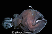 deep sea anglerfish, angler fish, doublespine seadevil, or black seadevil, Diceratias pileatus (c), uses bioluminescent lure to attract prey in the deep ocean; brought up from a depth of 3,300 feet (1000m) in a water intake pipe at Natural Energy Lab of Hawaii (NELHA), Keahole, Kona, Hawaii ( the Big Island ), USA