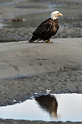 An adult bald eagle is reflected in a tidal pool on the beach  at Anchor Point, Alaska.