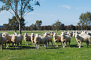 Flock of white suffolk sheep ewes in farm paddock in rural country Victoria, Australia. <br /> <br /> Editions:- Open Edition Print / Stock Image