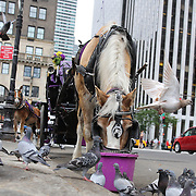 Pigeons gather to steal the feed from the horse feeding as Horse-Drawn Carriages wait for customers on the edge of Central Park. Horse-Drawn Carriages provide a wonderful way to experience the beauty of Central Park, Manhattan, New York. They can be found all year round lined up along Central Park South between 5th and 6th Avenues waiting for customers. Central Park, Manhattan, New York, USA. Photo Tim Clayton
