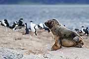 South American sea lions, <br /> Beagle Channel, Ushuaia, Tierra del Fuego, Argentina
