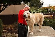 USA, Oregon, Keizer, Labrador Retriever being groomed. MR, PR