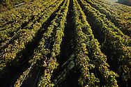 Workers handpick Norton grapes at Stone Hill Winery's Cross J Vineyard in Hermann, Missouri.