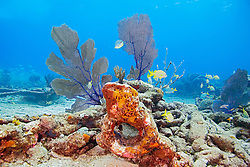 Sugar Wreck, the remains of an old sailing ship that grounded many years ago, encrusted with Sponges, Sea Fans, Gorgonia sp., and Sea Rods, West End, Grand Bahamas, Atlantic Ocean