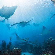 A school of eagle rays in clear, blue water.