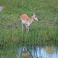 A Pronghorn Antelope (Antilocapra americana) grazes by a pond in Yellowstone National Park.