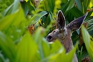 Female Doe Mule Deer Odocoileus hemionus hiding in meadow plants, Dorst Creek, Sequoia National Park, California